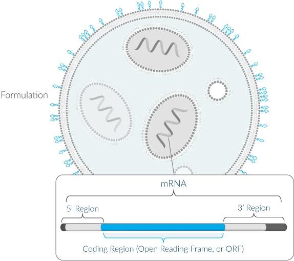Allgemeiner Aufbau der mRNA-Vakzine-Plattform von Moderna